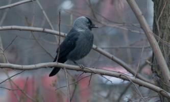 Птах галка: фото і відео «міський» жительки