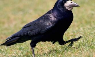 Птах грач: що ми знаємо про це віснику весни?