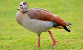 Птах гусак: різновиди, опис, фото