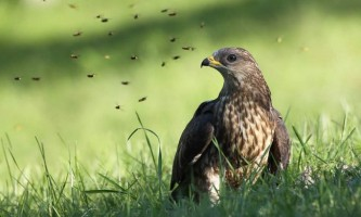Птах осоїд