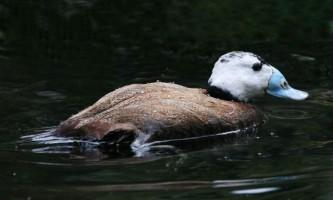 Птах савка: спосіб життя, фото