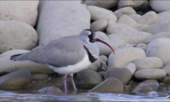 Птах серпоклюв - різновид куликів