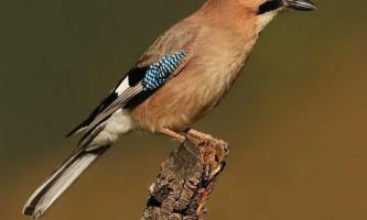 Птах сойка