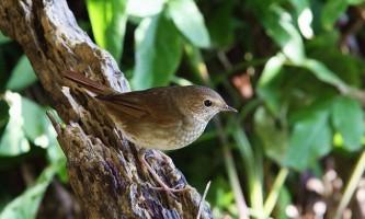 Птах соловей звичайний. Фото.