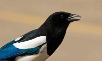 Птах сорока. Різновиди, інформація, фото, відео.