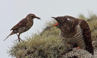 Пташині перегони озброєнь, або як жертви зозуль вчаться на своїх помилках
