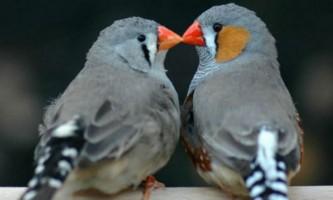 Пташки-амадини вибирають партнерів по поведінкової сумісності