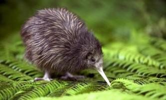 Пташки ківі виявилися родом з австралії