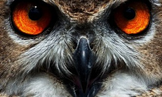 Птахи загону сов