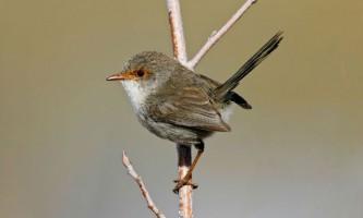 Птахи розпізнають голоси родичів, ще перебуваючи в яйці
