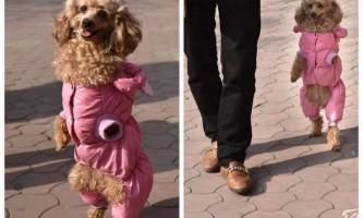 Пудель без передніх лап навчився ходити як людина
