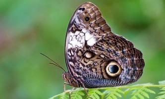 Лякаючий кокон метелики-сови