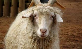 Пухові кози: утримання та догляд