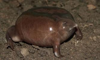 Пурпурова жаба - незвичайні земноводні.