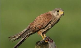 Боривітер звичайна: що відомо науці про цього птаха?
