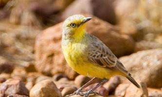 Пустельна ашбія - пернатий ендемік австралії
