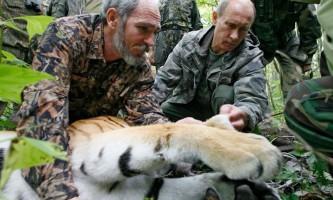 Путінські тигри прижилися в природі