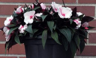 """Пишні кущі """"ваньки мокрого"""", догляд за квіткою в домашніх умовах"""