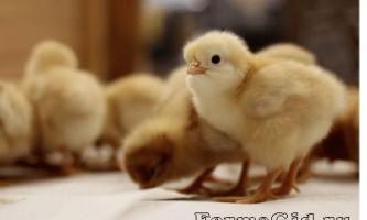 Раціон і норми годування курчат яєчних і м`ясних порід в домашніх умовах