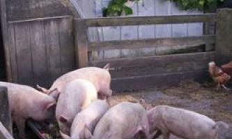 Раціон і норми годування свиней в домашніх умовах