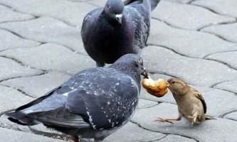Раціон харчування голубів: що можна давати, а що ні
