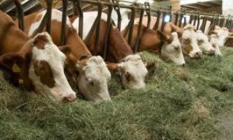Раціон харчування корів
