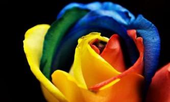 Райдужна троянда