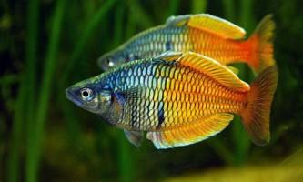 Райдужна рибка боесмана