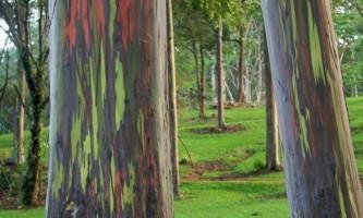 Райдужний евкаліпт (eucalyptus deglupta)
