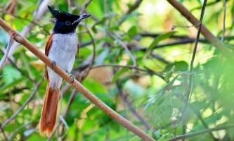 Райська мухоловка - пташка з короною на голові