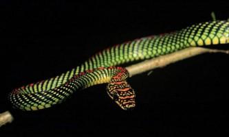 Райська прикрашена змія - літаюча представниця ужеобразних