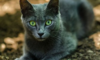 Рак у кішки: симптоми і лікування