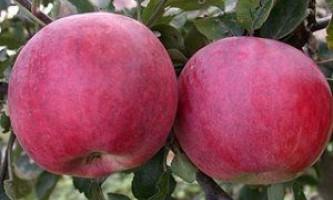 Ранні сорти яблук: особливості, смакові якості, переваги та недоліки