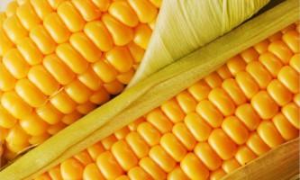 Рання кукурудза - секрети вирощування