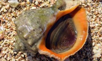 Рапани: фото і опис молюсків