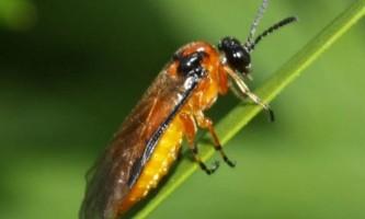 Ріпаковий пильщик - комаха, що заподіює величезні збитки