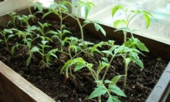 Розсада помідорів не росте. Що робити?