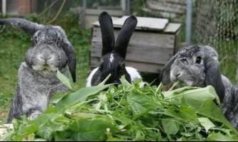 Рослини для кроликів