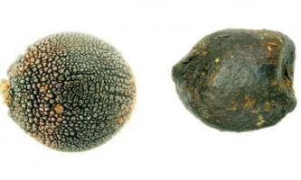 Рослини видають насіння за гній для обману жуків