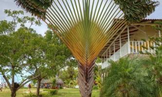 Равена мадагаскарська, або дерево мандрівників (лат. Ravenala madagascariensis)