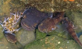 Розгадана таємниця співаючих риб