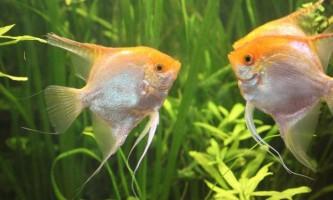 Розмножуємо скалярій в загальному акваріумі будинку