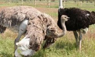 Розмноження страусів