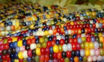Різнобарвна кукурудза