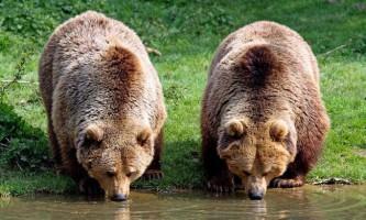 Різні види ведмедів