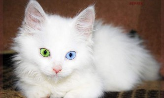 Різний колір очей у тварин: що таке гетерохромія?