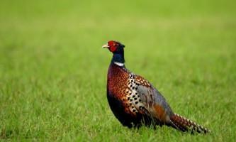 Розведення фазанів в домашніх умовах