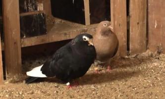 Розведення голубів