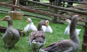 Розведення гусей
