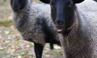 Розведення і годування овець романівської породи, їх продуктивність і зовнішній вигляд